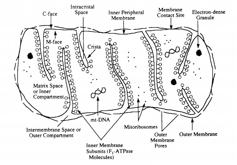 mitochondrion from Tyler, 1995