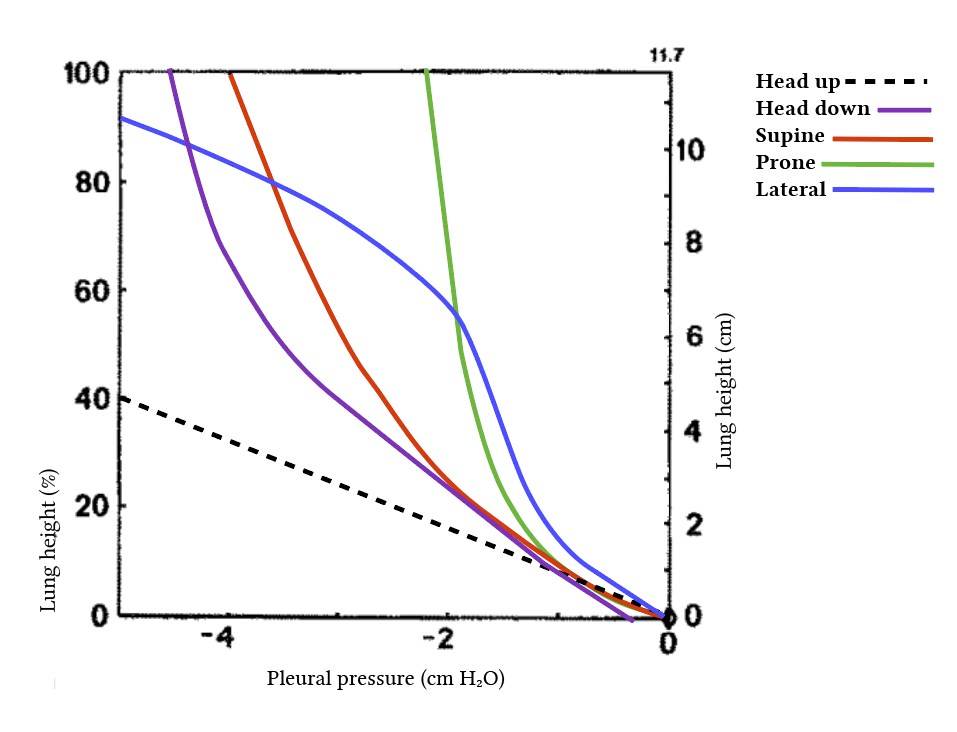 influence of position on pleural pressure