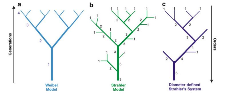 models of classifying the branches of the pulmonary circulation