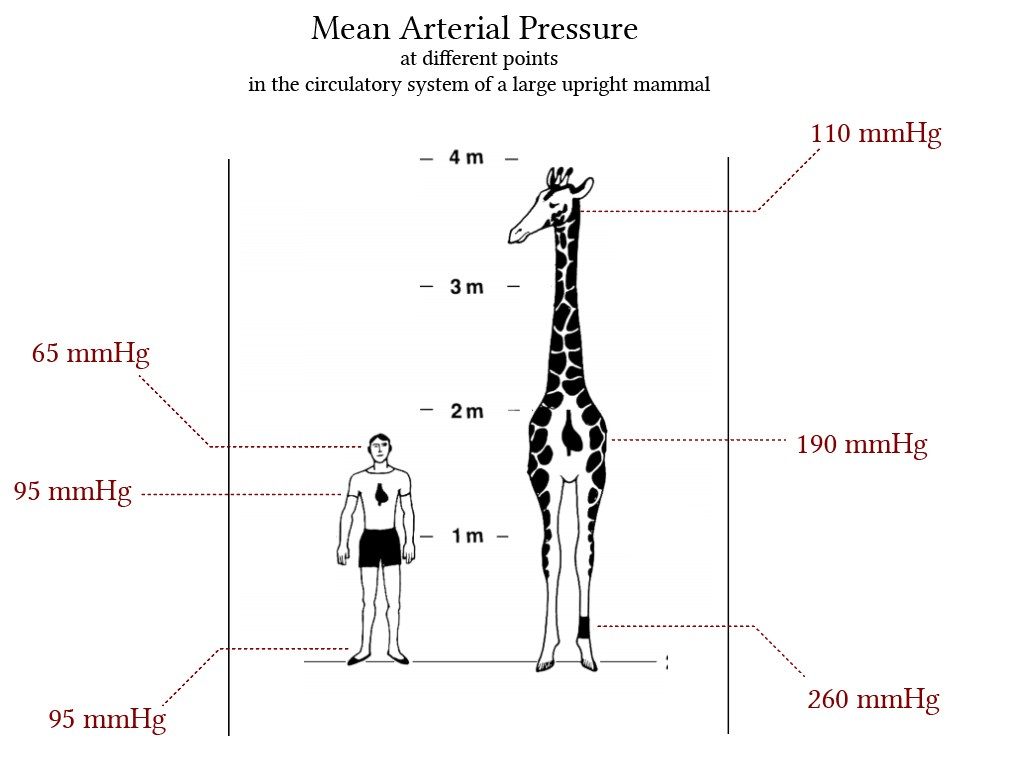 Mean Arterial Pressure in the circulatory systems of large upright mammals