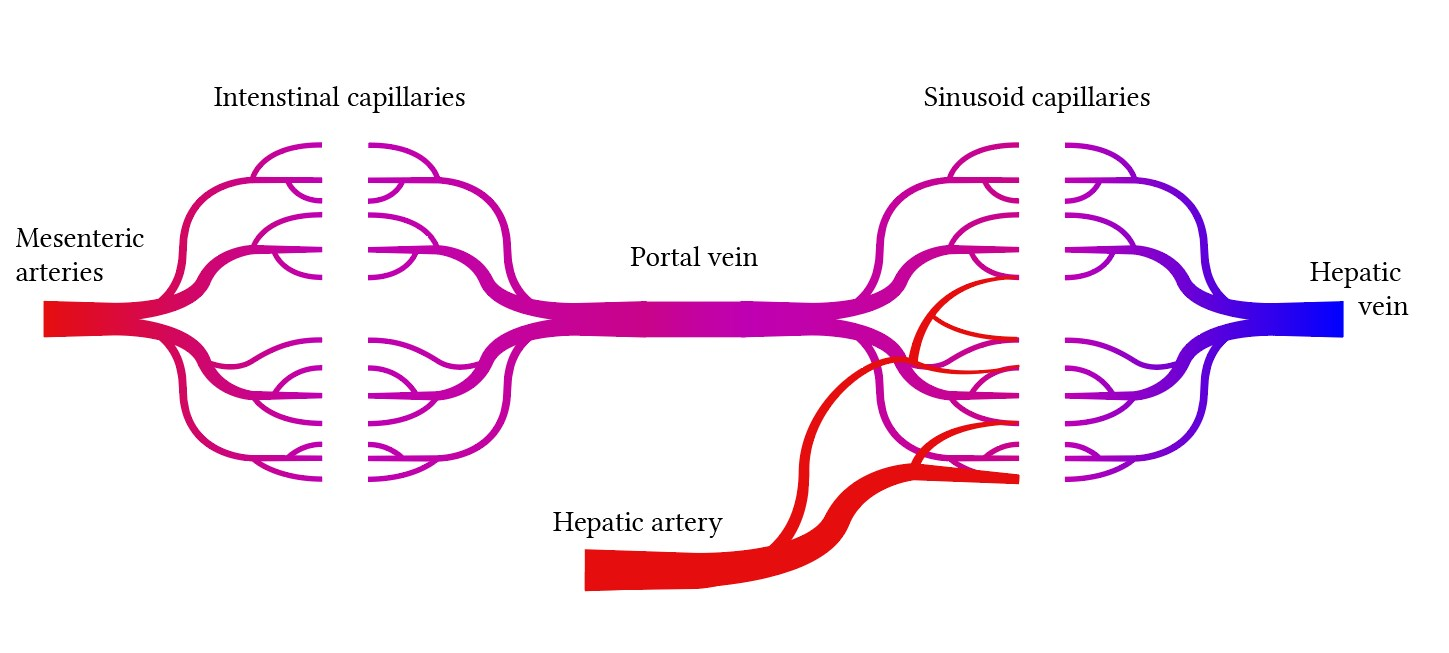 Portal circulation of the liver