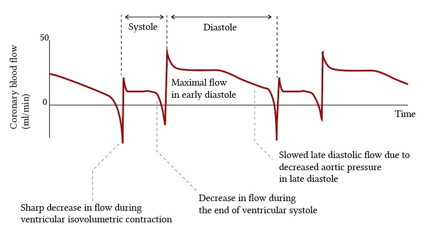 events in coronary blood flow during the cardiac cycle