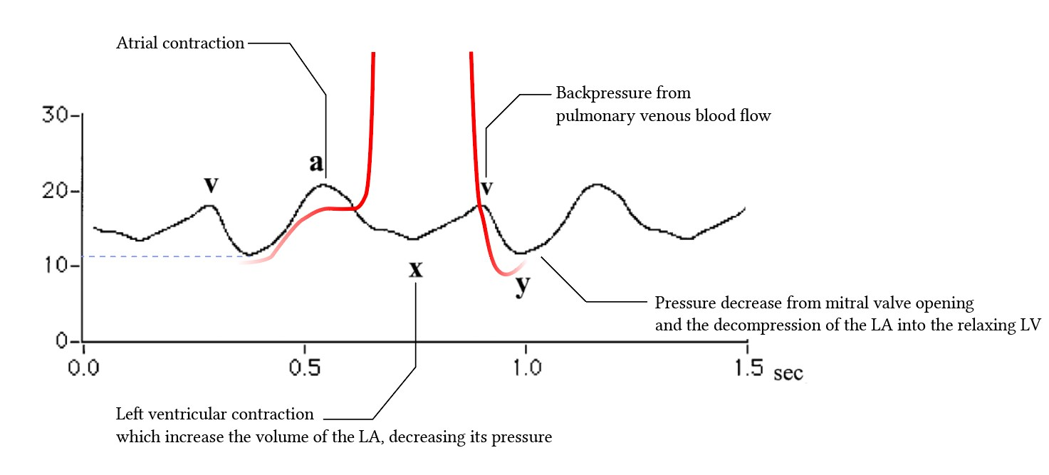 events in the left atrium during the cardiac cycle