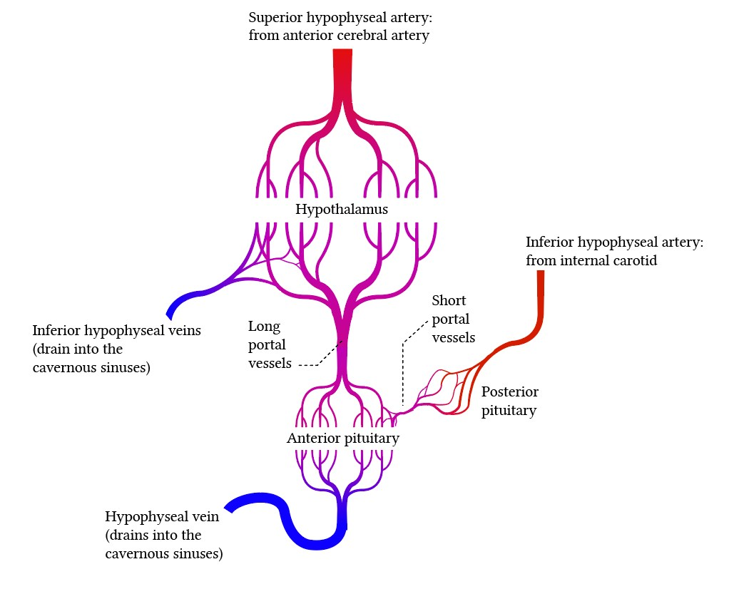portal circulation of the pituitary