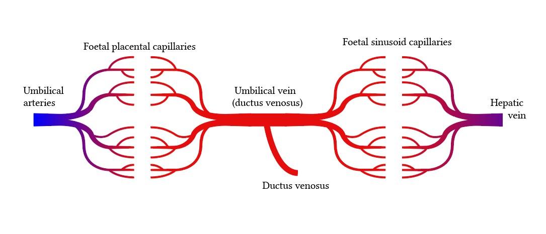 Circulación portal de la placenta