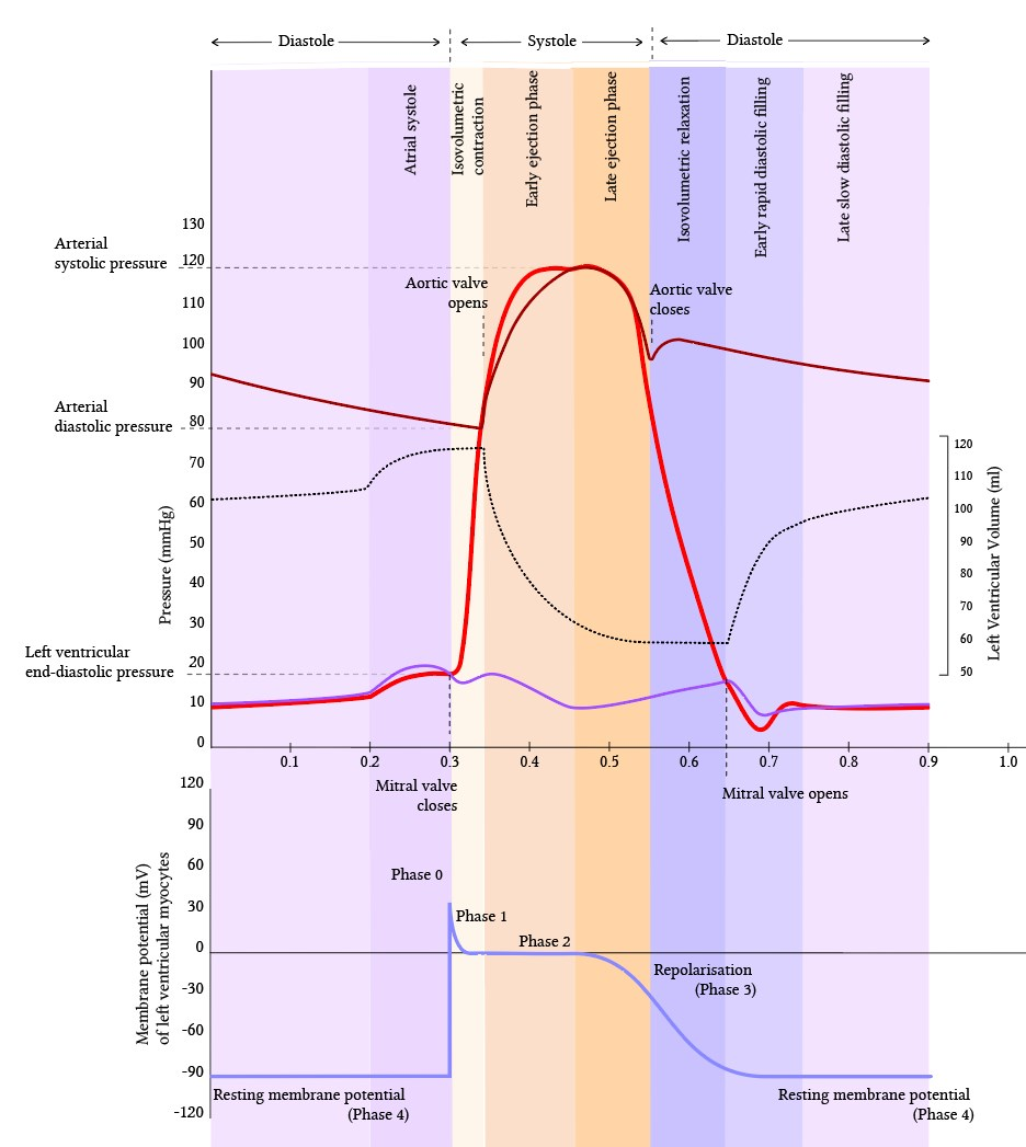 relationship between ionic and electrical events during the cardiac cycle