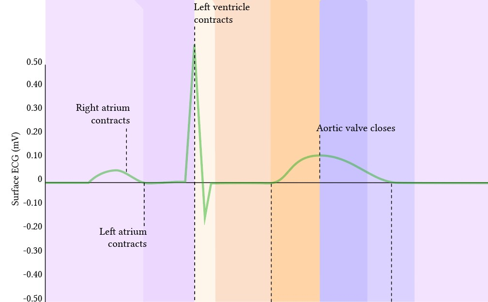 relationship of the surface ECG to the events of the cardiac cycle
