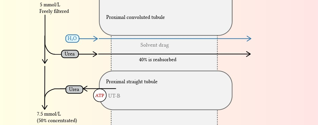 Reabsorption of urea in the proximal tubule