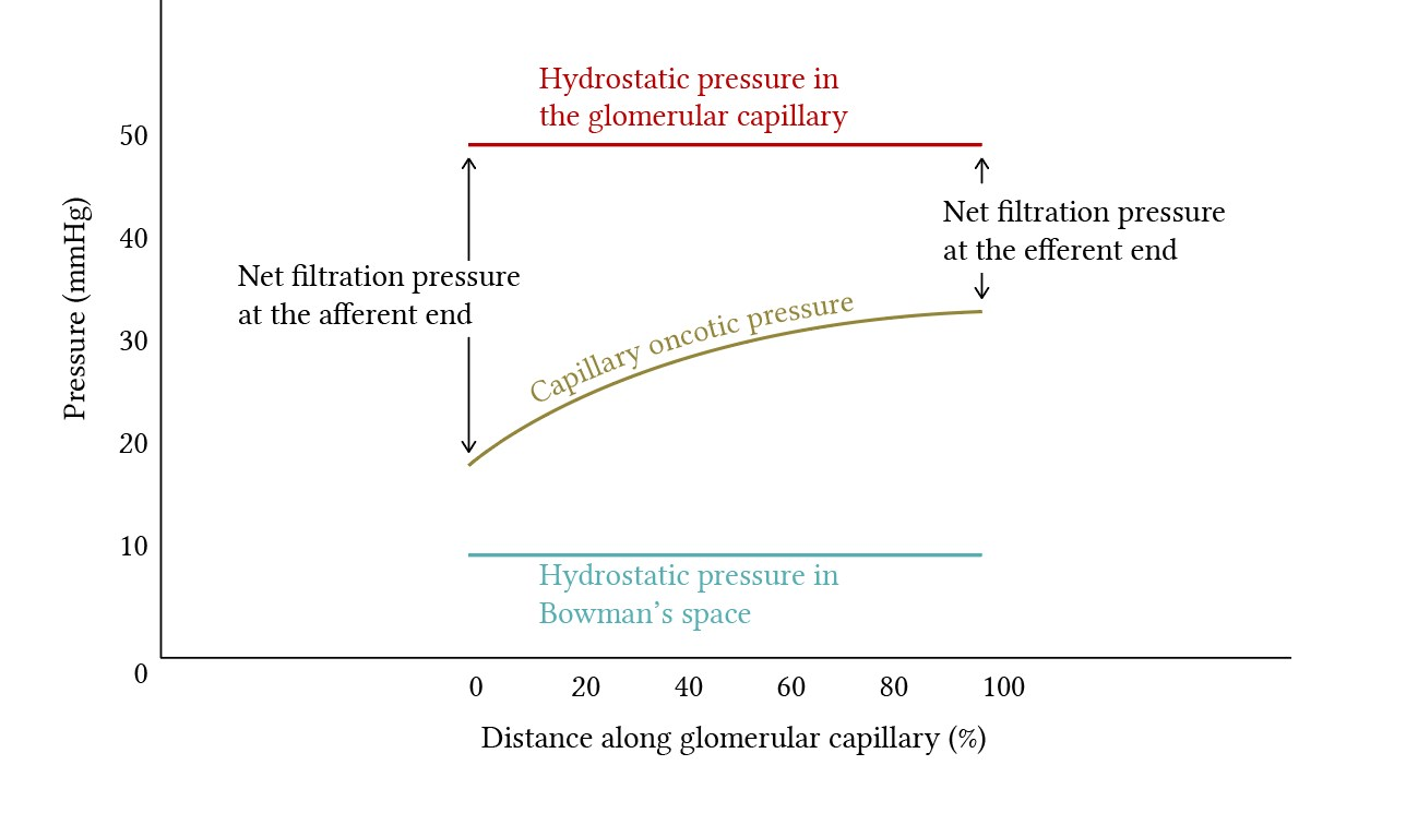 hydrostatic and oncotic pressure along the glomerular capillary