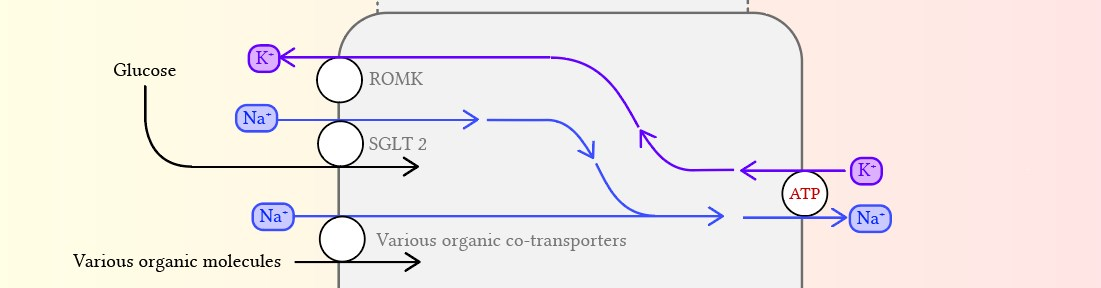 Transport of glucose in the proximal tubule