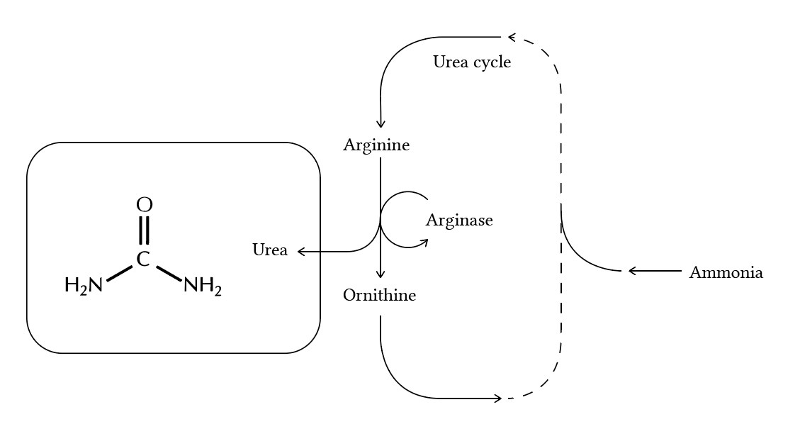 urea cycle - the most dumbed down version you have ever seen