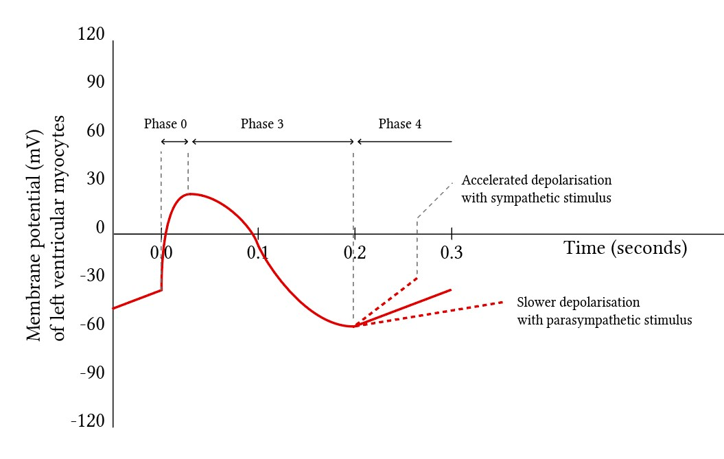 Cardiac pacemaker action potential phases