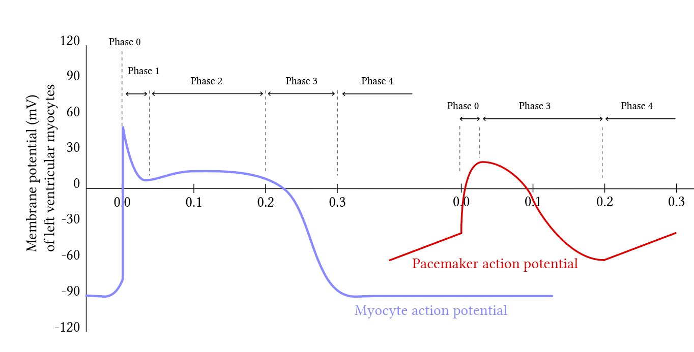 Phases of the myocyte and pacemaker action potential