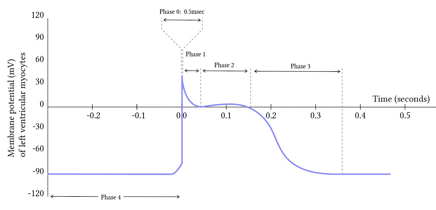 cardiac action potential phases