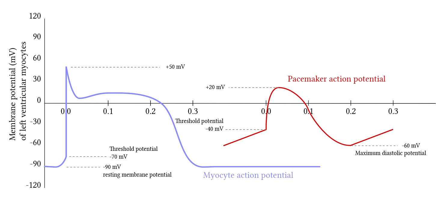 comparison of ventricular myocyte and pacemaker action potentials