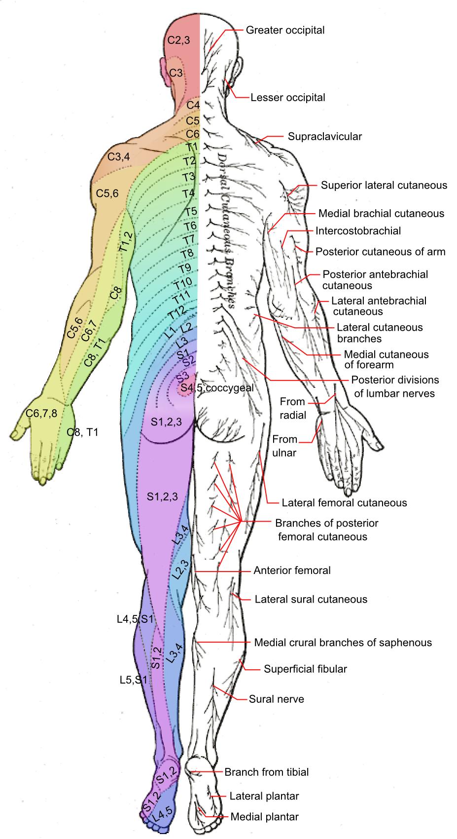 posterior dermatomes