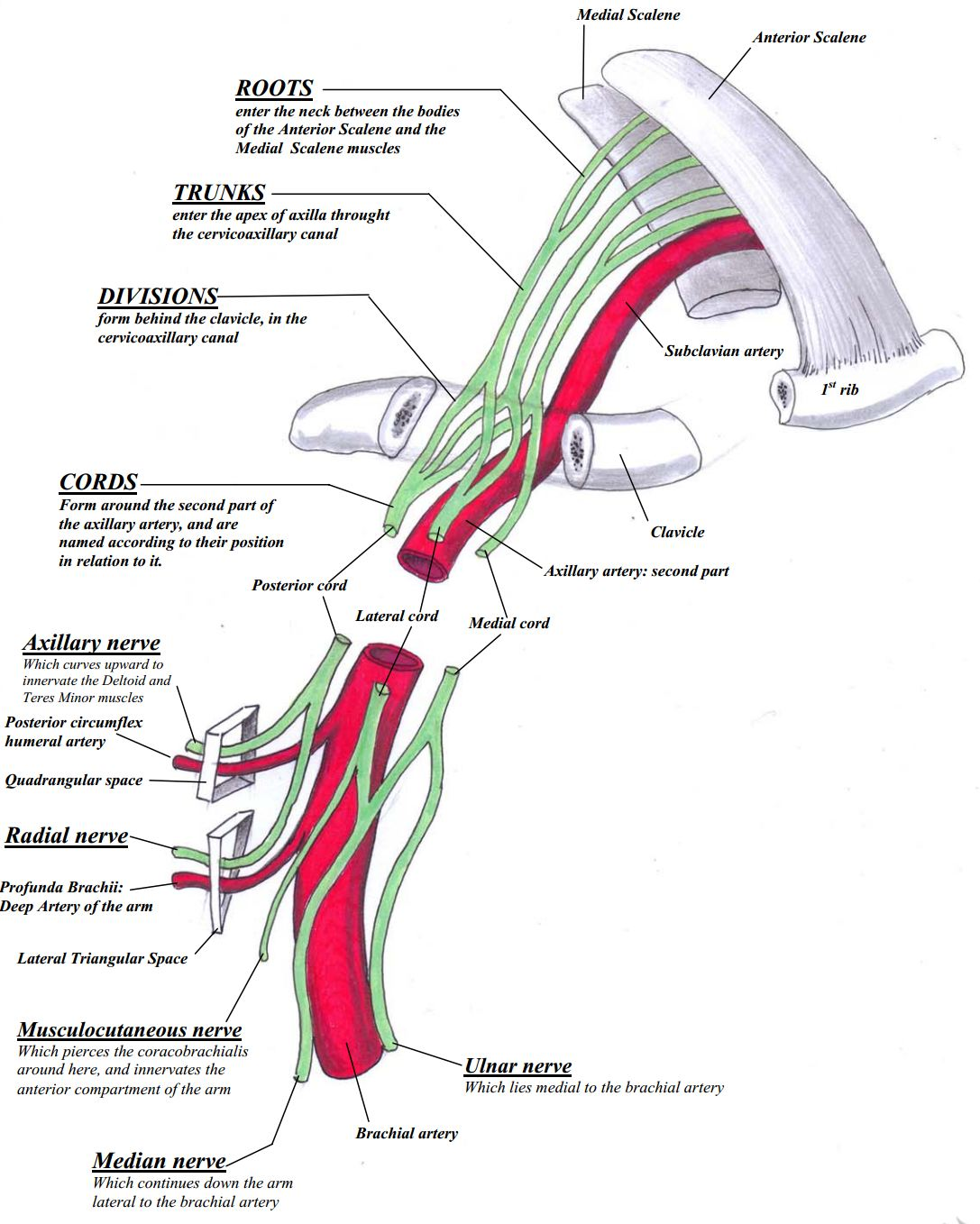 Relations of the brachial plexus