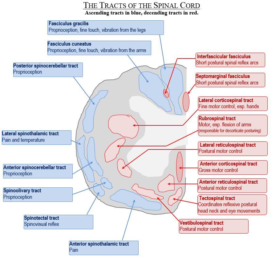 besserung conus cauda syndrom